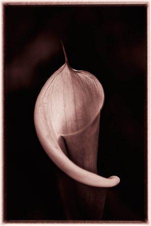 Minimalist Arum Lily by Jose Vieira