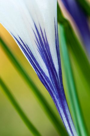 Crocus Stem by Maureen Douglas-Green