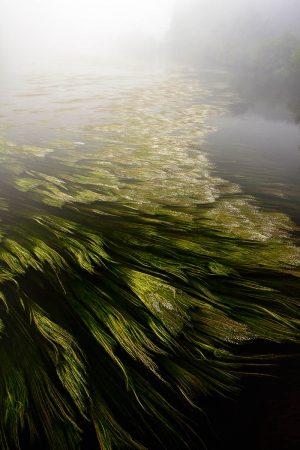 River Crowfoot by Bob Gibbons