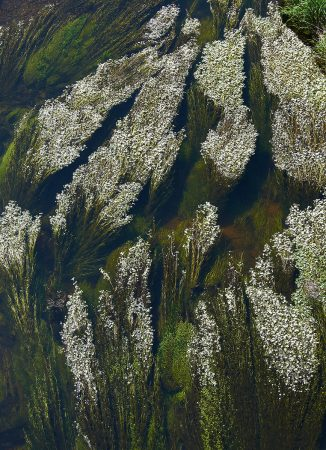 Water Crowfoot by Alan Price