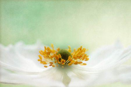 Anemone Softness by Jane Ball
