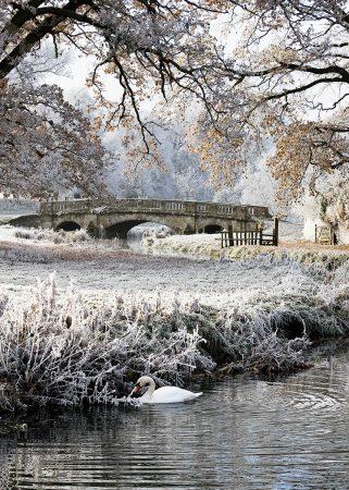 Swan at Charlecote Park by Sue Steward