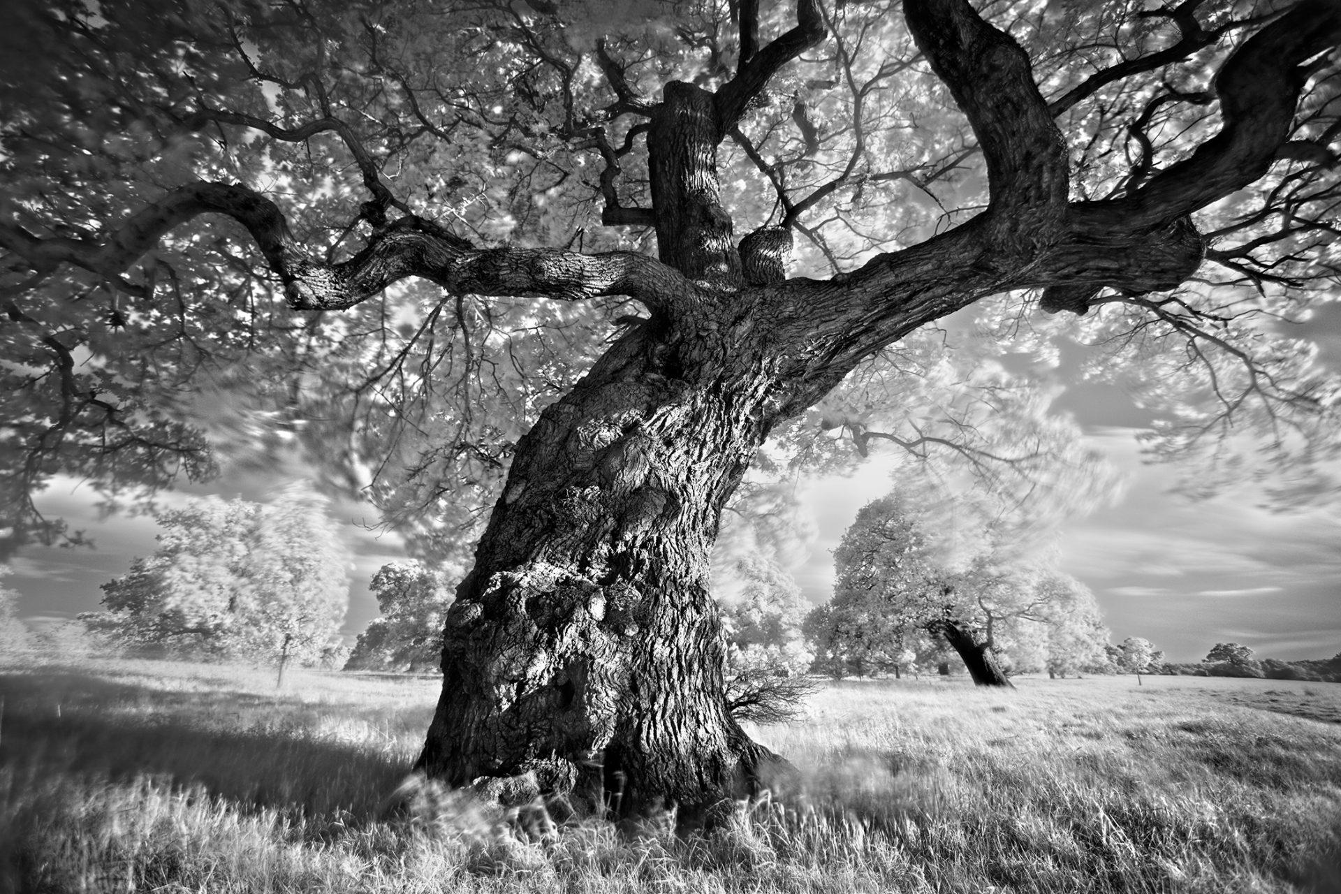 Help us save the UK's oak trees