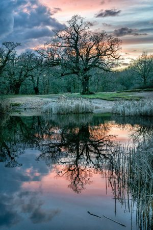 Ancient Oak Reflection by Marion Sidebottom