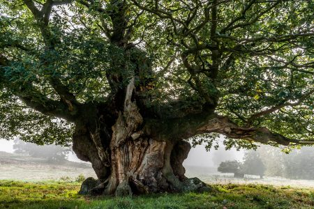 Ancient Sessile Oak by John Glover