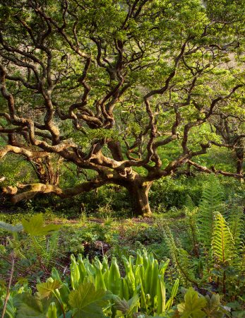 Devon Valley Oak by Andrew Lawson