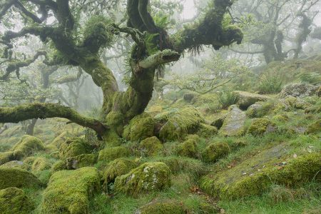 Misty Wistman's Wood by Anna Curnow