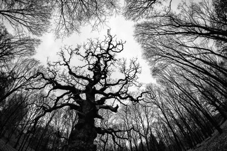 Great Windsor Oak by Marion Sidebottom