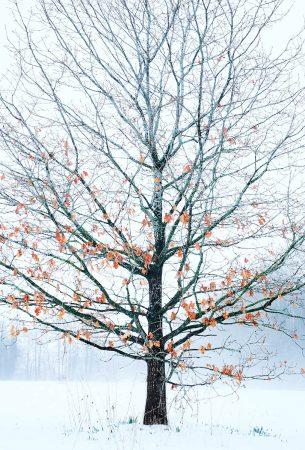 Millennium Oak IV by Chris Bestall