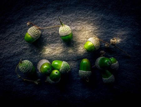 Acorns by Simon Hadleigh-Sparks
