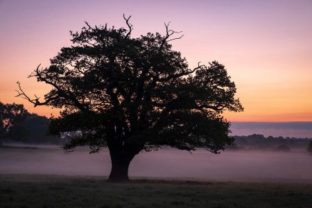 Morning Oak by David Clarke