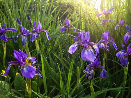 Blue <em>Iris</em> by Marina Chrysou