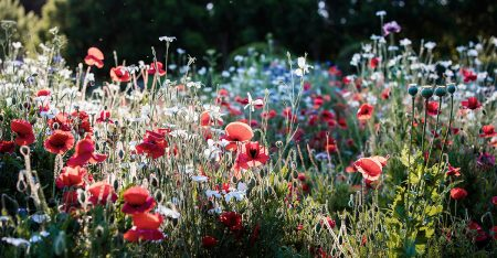 Lambley's Poppies by Claire Takacs