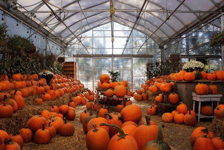 Pumpkin Harvest by Gloria King