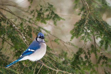 Proud Blue Jay by Danièle Dugré