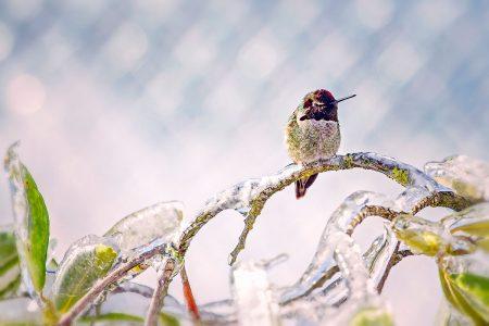 Anna's Hummingbird by Julie Head
