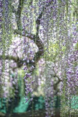 <em>Wisteria</em> Vines by Natalie Tsai