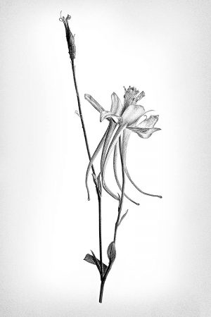 Dainty Columbine by Dianne English