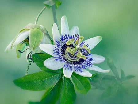 Passion Flower with Bud by Janet Barton