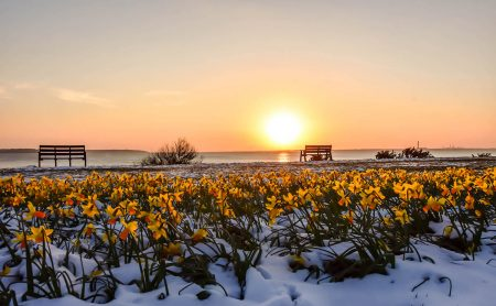 Daffodils in the Snow by Amanda Morby