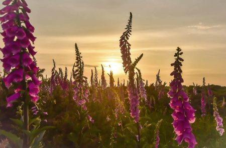 Foxgloves at Sunset by Amanda Morby