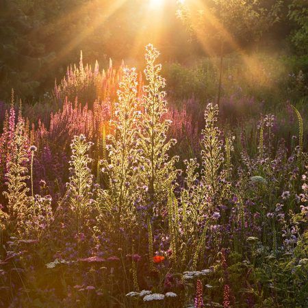 Sunrise in the Wildflower Meadow by Clare Forbes