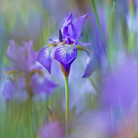 Iris after the Rain III by Rachele Z. Cecchini
