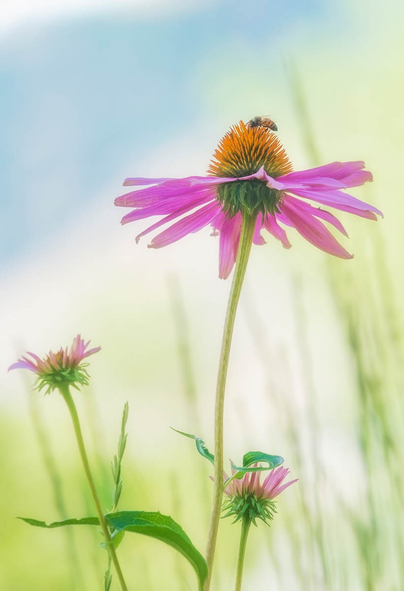Pink Coneflower Happiness by Kathleen Snead