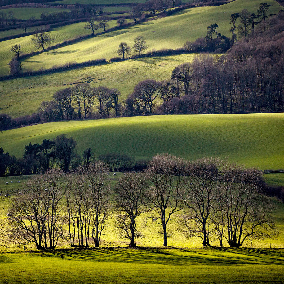 Dorset Trees by Paul Sansome