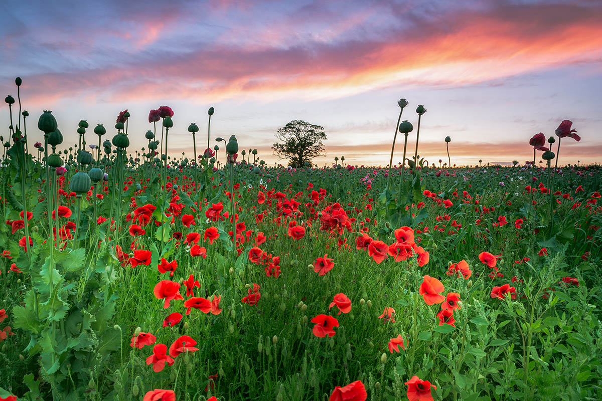 Poppy Field at Sunset by David G. Jones