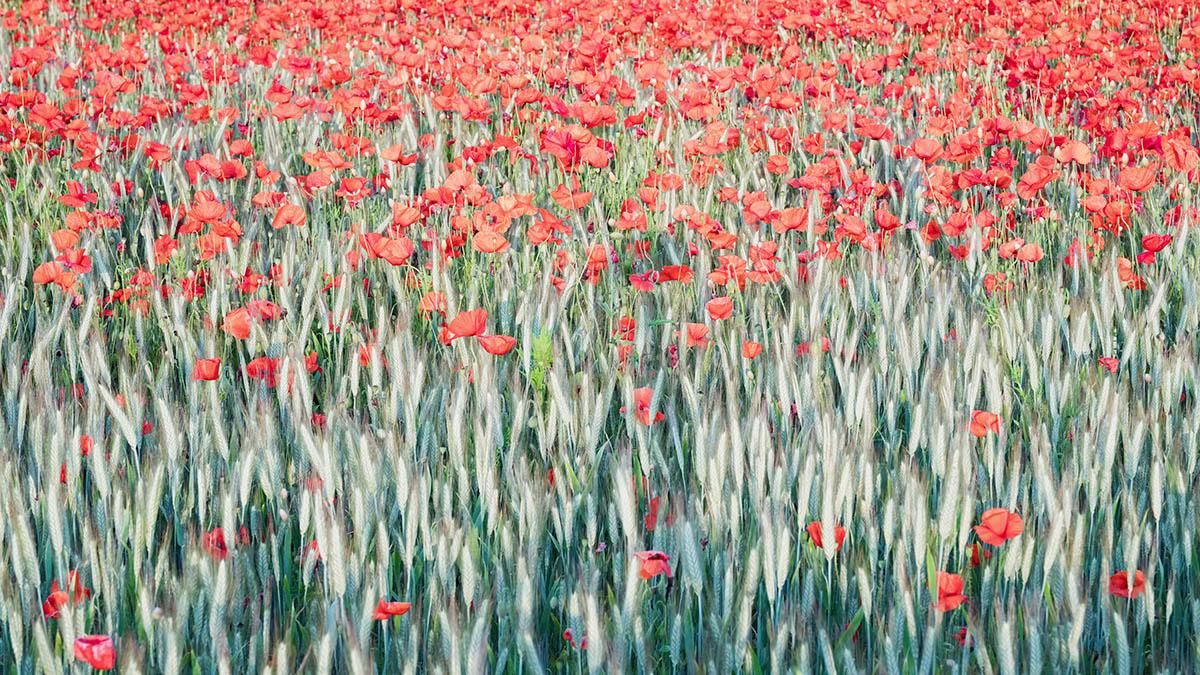 Poppy Flower Field by Dave Fieldhouse