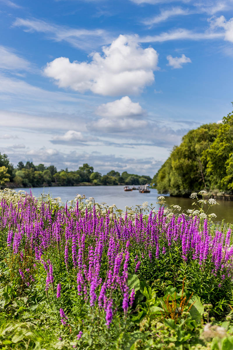 Wildflowers of The Thames by David Jacobs