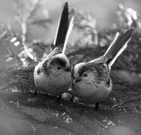 Long-tailed Tits by Alan Price
