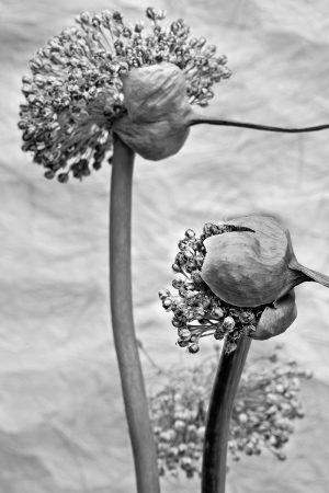 Exploding <i>Allium</i> by Rachele Z. Cecchini