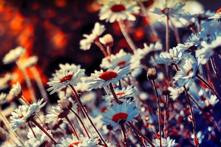 Daisies by Kyle Parr