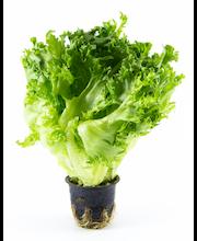 Salat Frillice potis