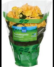 Roosbegoonia, 12 cm
