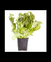 Rainbow Tammelehe salat potis