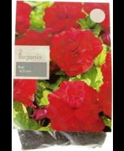 Mugulbegoonia Punane , 2 sib., suurus 4-5