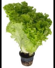 Grüne Fee lehtsalat potis