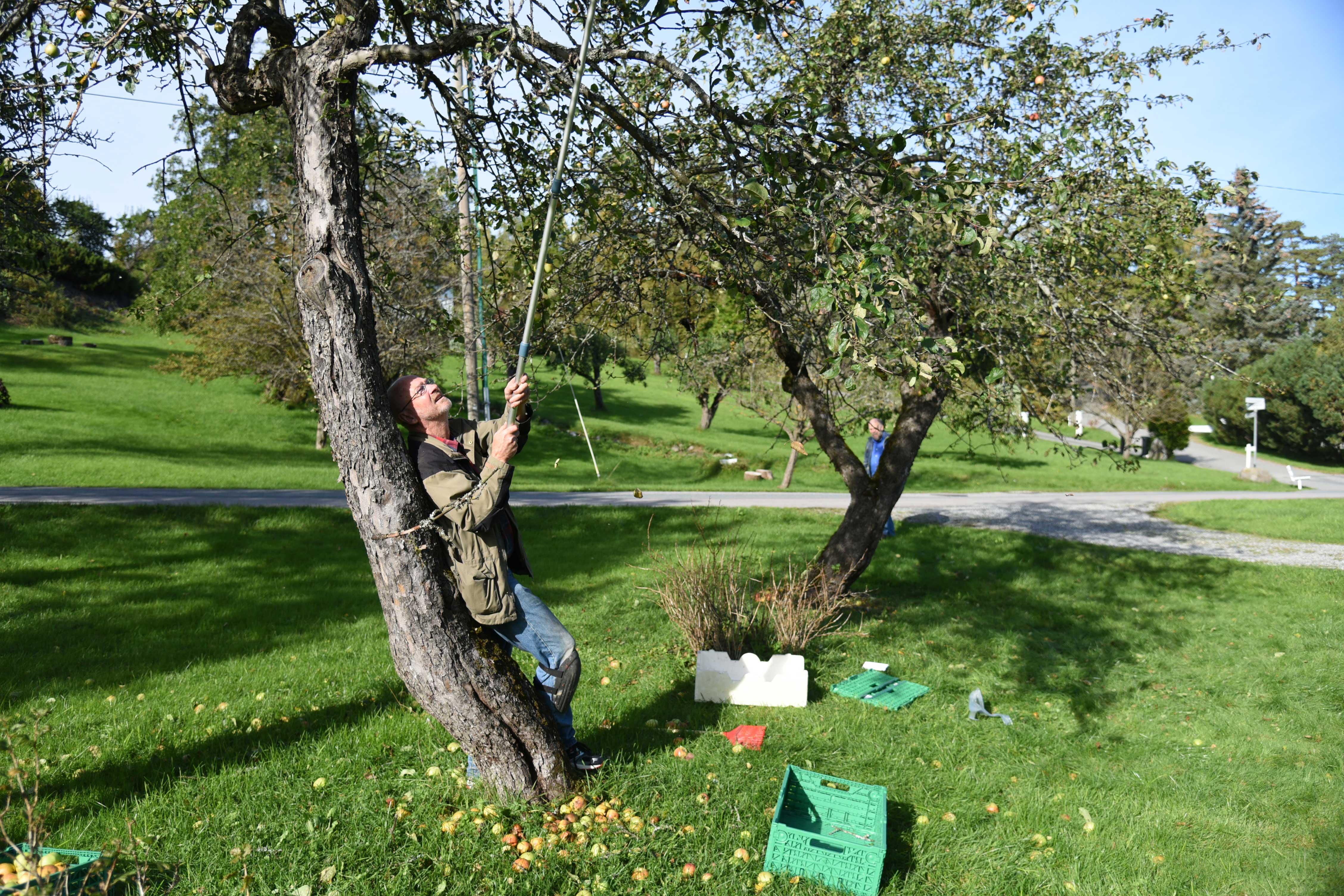 Stein Dyre Berge har en eiendommelig måte å sanke de nedfalne eplene på. Ryggen er ikke god, så han tar på knebeskyttere og kravler rundt i hagen på alle fire. Også blant nedfallsfrukten finnes det gode eksemplarer. De har ikke modnet og falt forgjeves.