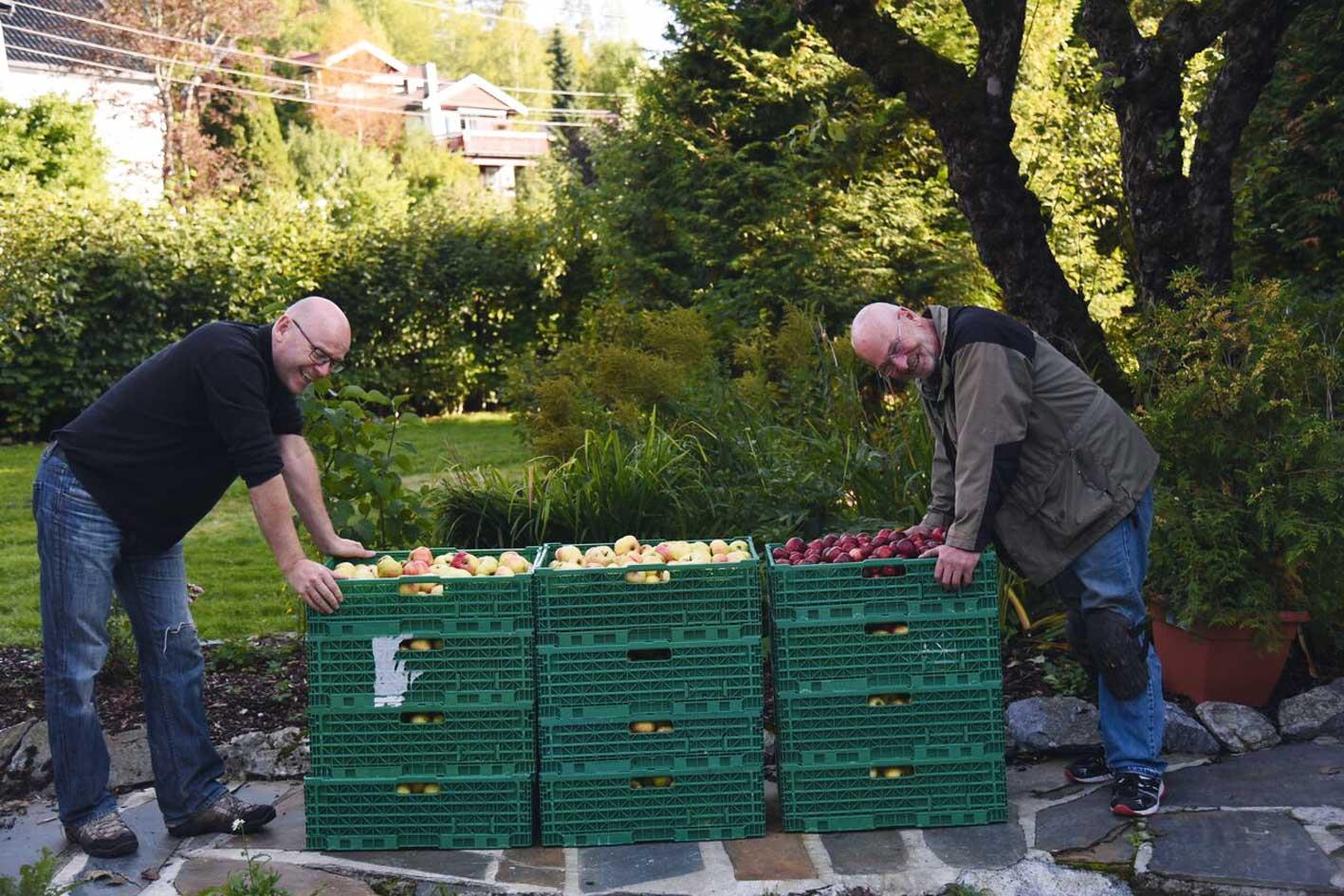 Kjell Kvamme og Stein Dyre Berge stabler dagens fangst av epler som skal presses. Fotograf: Johannes Kvamme