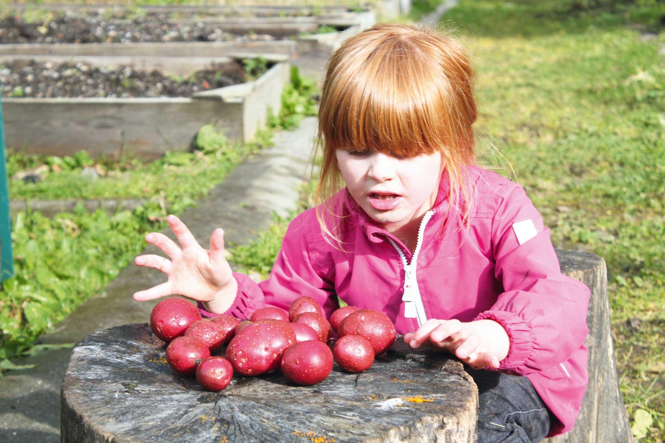 Lillian (4 1/2 år) vaskar og tel over potetene som ho har dyrka sjølv. Foto Torhild Dahl
