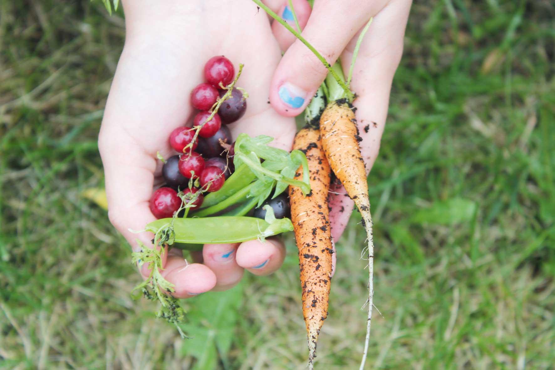 Rips, sukkererter, solbær og knaskegulrøter i ei lita hand.