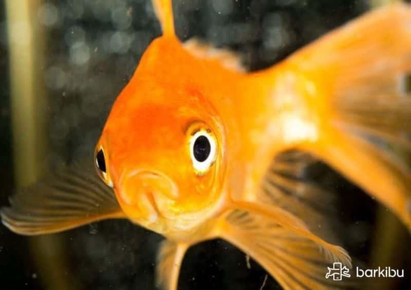 Las enfermedades de los peces y los motivos por los que se les cae la cola  son muy variados. Lo mejor que puedes hacer es dejar una consulta a  nuestros ... af9b27d0ab8
