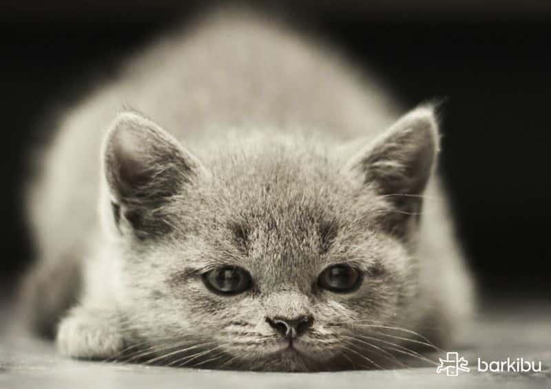 cómo desinflamar el ano de un gato y aliviar su dolor barkibu es