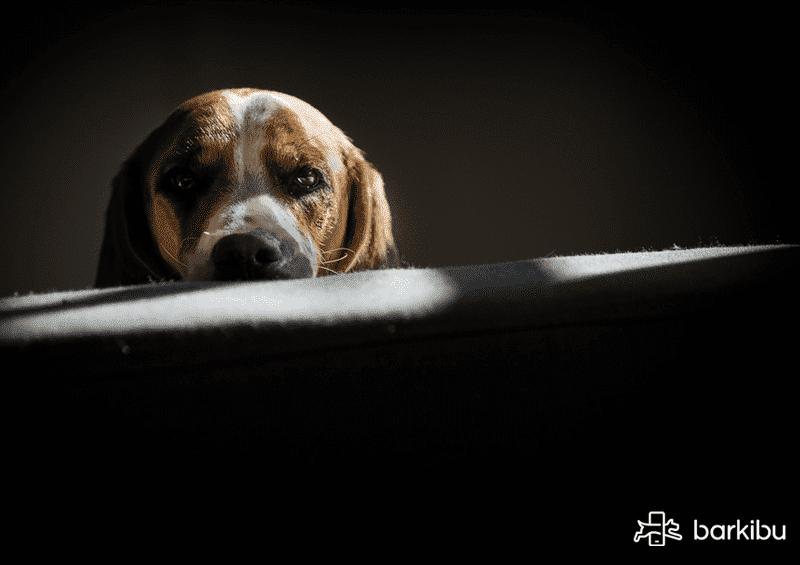 La leishmaniasis en perros es contagiosa? - Síntomas cutáneos ...