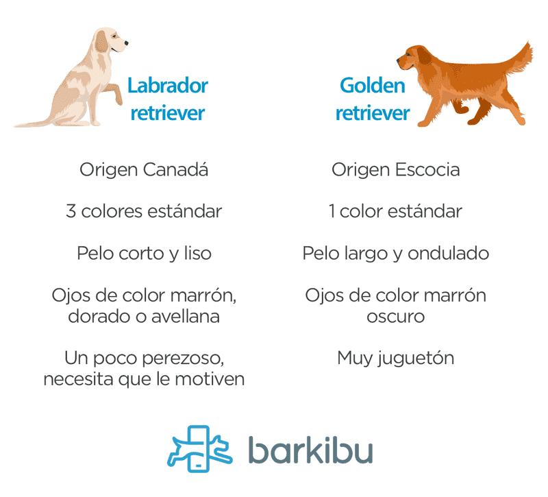 Diferencias Entre Un Labrador Y Un Golden Barkibu Es