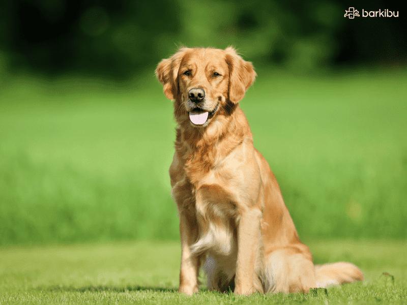 Golden retriever pelo corto o largo