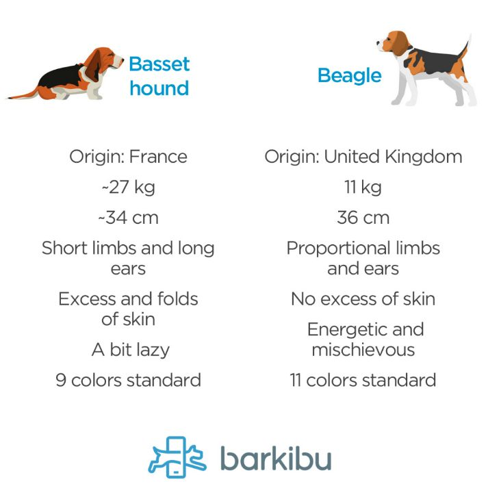Differences between a beagle and a basset hound